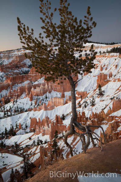 Tree hanging on by its roots with hoodoos and snow in the background | bigtinyworld.com