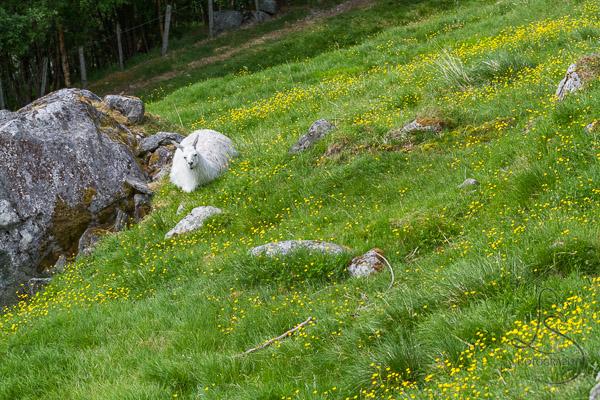 Goats on Westeras Farm Geiranger
