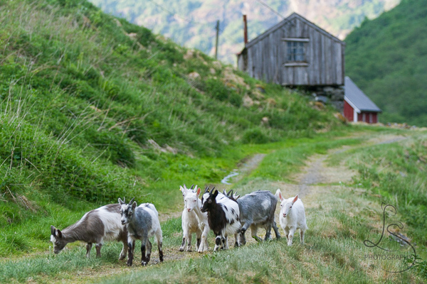 Norway Goats