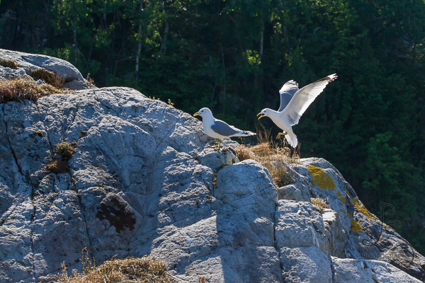 kyrping-seagulls-20