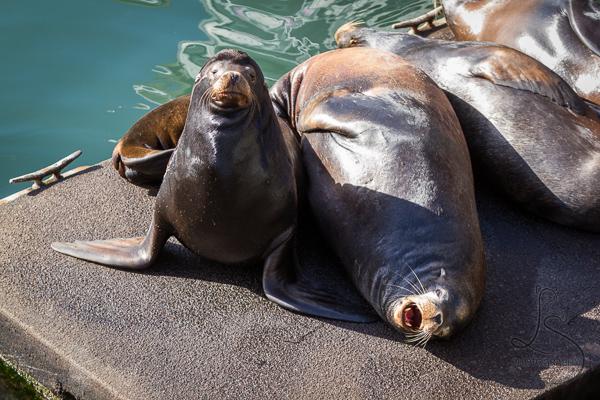 Sea Lions on Dock in Newport Oregon