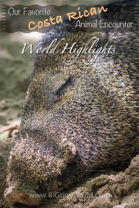 World Highlights: Our Favorite Costa Rican Animal Encounter | BIG tiny World Travel | Costa Rica is renowned for its wide array of exotic fauna. Click through to read all about our favorite encounter while visiting this tropical paradise! | #travel #aroundtheworld #worldwide #photography #wildlife