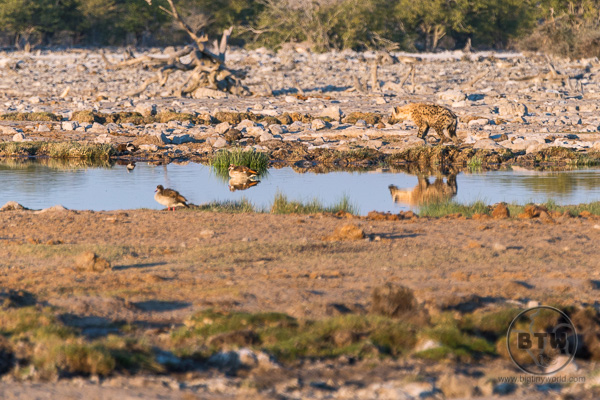 Hyenas at a watering hole