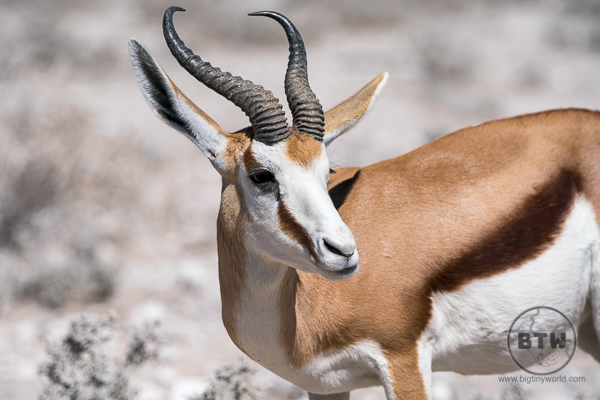 Springbok up close