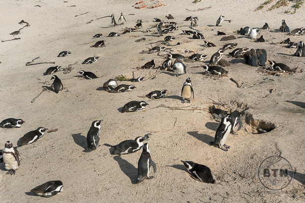 Several dozen penguins on Boulders Beach South African
