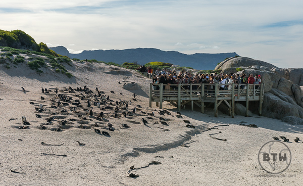 Penguins on Boulders Beach in South Africa - View from second boardwalk