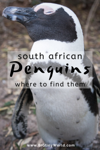 Visiting Boulders Beach Penguin Colony Cape Town | African Penguins are incredibly cute, awkward, and amazing. These can be found near Cape Town in Simon's Town South Africa. Visiting Boulders Beach was fun and quite entertaining | BIG tiny World Travel | #penguins #bouldersbeach #Capetown #longtermtravel #travelmore #shadeadventures
