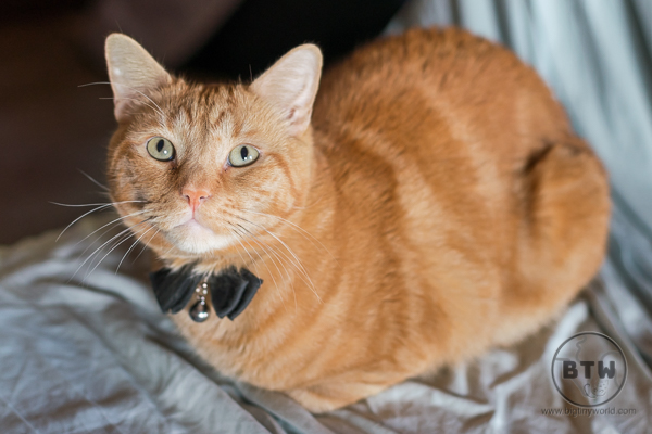 Orange Cat with Bowtie